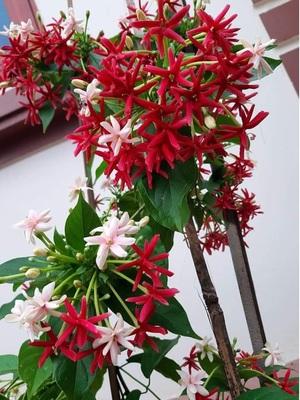cây hoa Sử Quân Tử