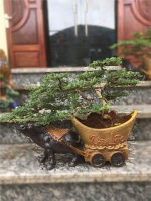 Cây Cần Thăng Bonsai - Con Trâu Vàng đón năm mới Kỷ Sửu