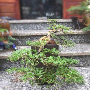 Cây Cần Thăng Bonsai - Hoa rơi hữu ý, nước chảy vô tình.