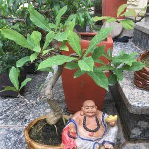 Cây Lộc Vừng Bonsai để bàn