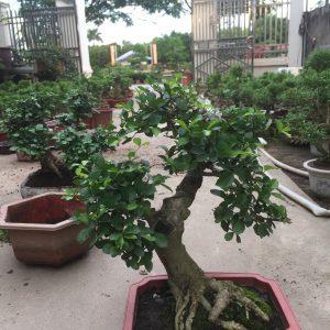 duối bonsai