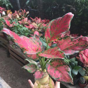 Cây Hồng Phát Lộc Thủy Sinh - Vạn Lộc Đỏ