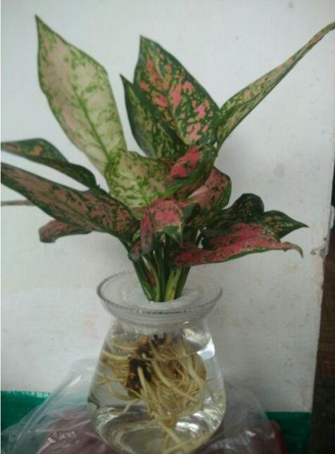 Cây Vạn Lộc - Cây Thiên Phú