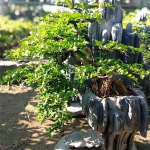 cần thăng bonsai nam quốc sơn hà