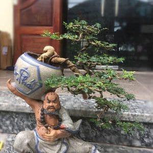 Cây Cần Thăng Bonsai - Võ Tăng vác lu độ thế