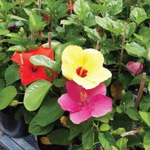 cây hoa dâm bụt thái - dâm bụt lùn
