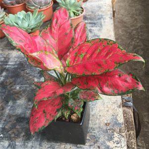 Cây Hồng Phát Lộc - Vạn Lộc Lá Đỏ