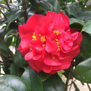 hoa trà thâm hồng bát diện