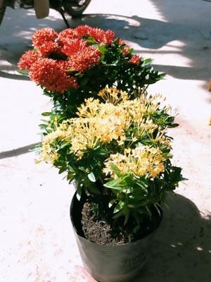 Trang Thái - Mẫu Đơn Lùn (đỏ, vàng, hồng)
