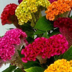 cây hoa mào gà búa lùn