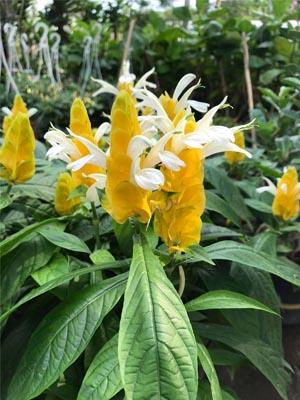 cây hoa rồng vàng