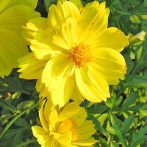 Cây Cúc Cánh Bướm Vàng - Sao Nhái Vàng