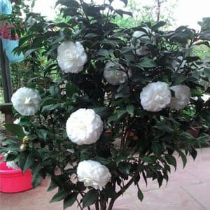 hoa trà bạch nhật - phấn cung đình