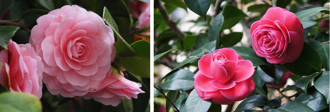 hoa trà hồng phấn