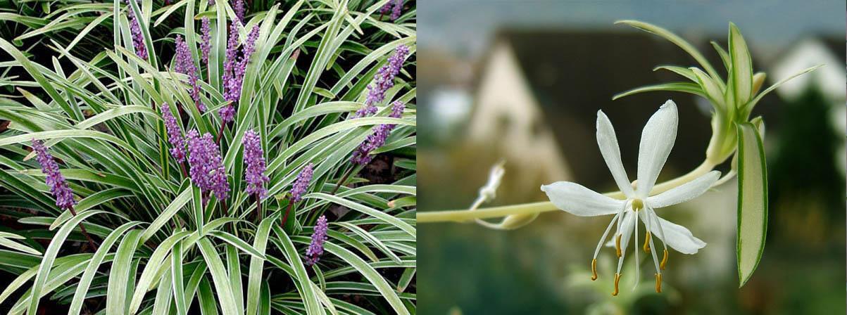 lan bạch chỉ cỏ lan chi
