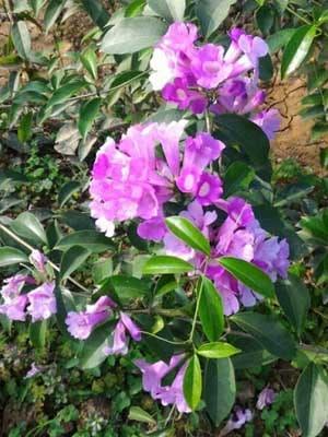 cây lan tỏi - dây ánh hồng