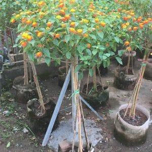 cây Ngũ Sắc thân TREE