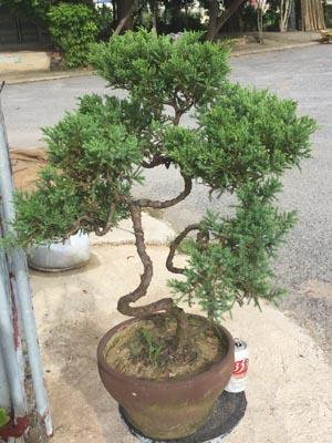 tùng kim bonsai dáng trực