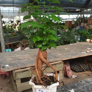 hạnh phúc bonsai