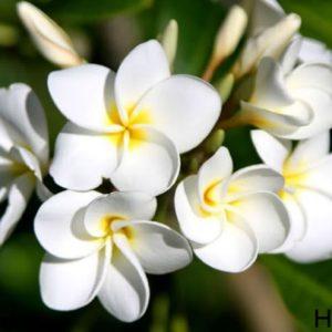 Hoa có hương thơm mạnh
