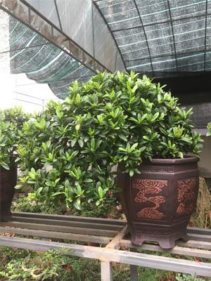 mẫu đơn Bonsai -trang thái