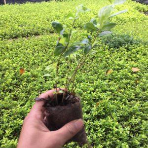 cây chuỗi ngọc trồng công trình