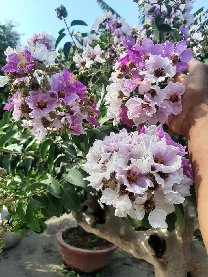 Bằng Lăng Bonsai - Bằng Lăng lá nhỏ, hoa tím