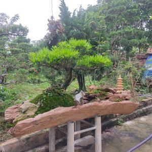 tùng la hán bonsai